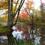 Swamp Maples on the Clyde near East Charleston, Vermont, one early morning in the fall