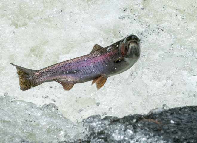 Trout Jumping the Rapids on the Willoughby River-9
