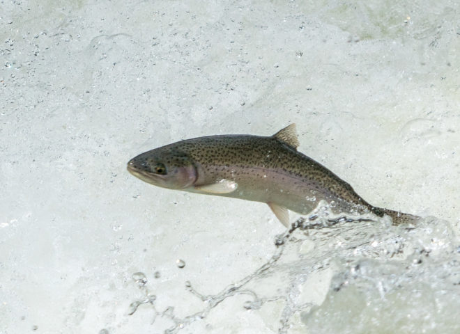 Trout Jumping the Rapids on the Willoughby River-8