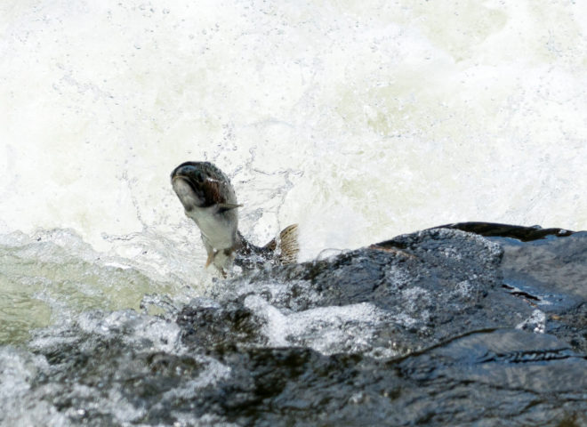 Trout Jumping the Rapids on the Willoughby River-7