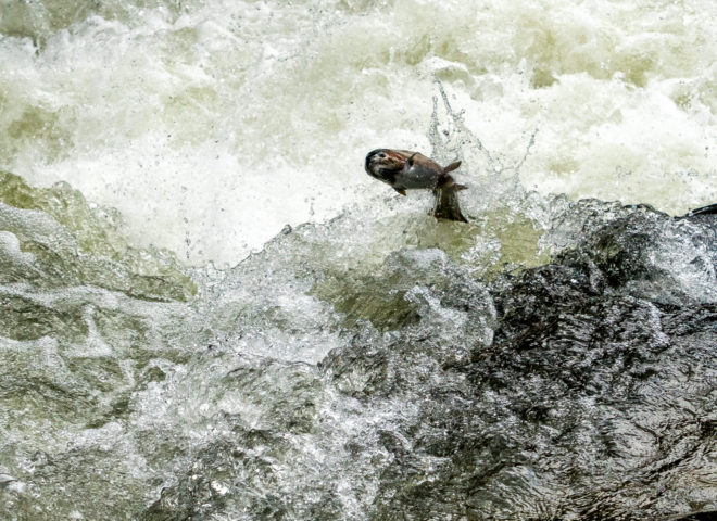 Trout Jumping the Rapids on the Willoughby River-6