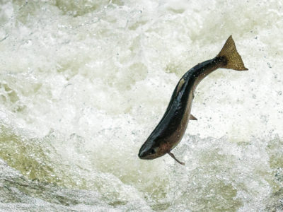 Trout Jumping the Rapids on the Willoughby River-5