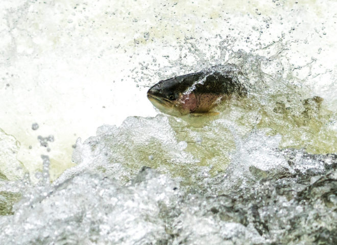 Trout Jumping the Rapids on the Willoughby River-1