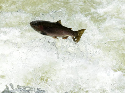 Trout Jumping the Rapids on the Willoughby River-2