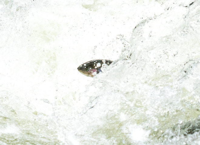 Trout Jumping the Rapids on the Willoughby River-3