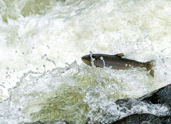 Trout Jumping the Rapids on the Willoughby River-4