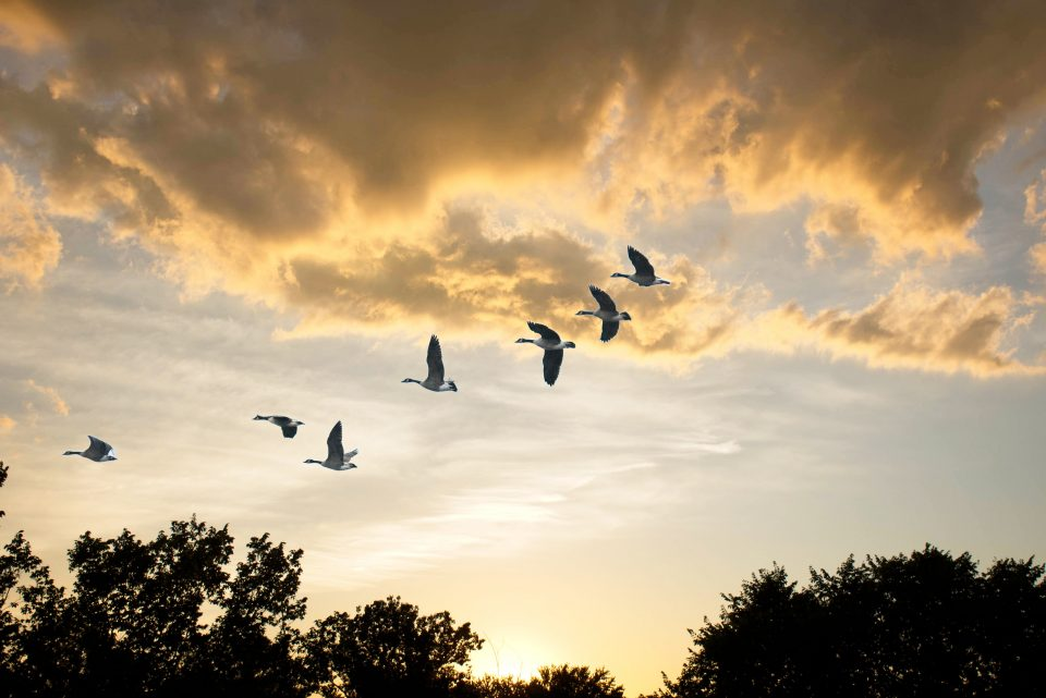 canada geese sunset